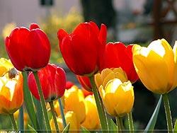 Festa del Tulipano 2015